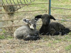 Trix and Kix, twin bucks are just two days old! New additions at Solitude Wool Spring Lambs, Solitude, Yarns, Sheep, Goats, Twin, Wool, My Love, Animals