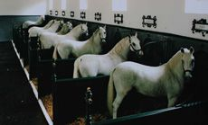 Lippizaner stallions at Szilvasvarad, Hungary. Work with these guys! Most Beautiful Animals, Majestic Animals, Beautiful Horses, Lippizaner, Lipizzan, Spanish Riding School, Baroque, Heart Of Europe, Horse Stables