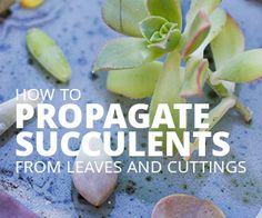 How to Propagate Succulents from Leaves and Cuttings via @succsandsun