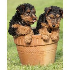The Welsh Terrier has a reputation for being an excellent traveling companion: Compact, curious, but gentlemanly, and game for whatever adventure the next bend in the road might bring.