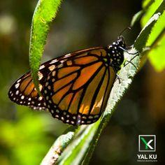 El otoño marca el inicio de uno de los eventos más bellos que la naturaleza nos regala: la llegada de las mariposas monarca.