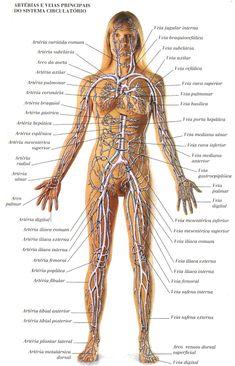Sistema Cardiovascular: funções