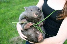 A wombat contemplating how delightful it is to be a wombat. 25 Animal Pictures That Will Restore Your Faith In Animals Animals Of The World, Animals And Pets, Baby Animals, Funny Animals, Wombat, Beautiful Creatures, Animals Beautiful, Unusual Animals, Vash
