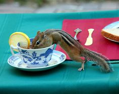 Tea Time - Chipmunk Drinking Tea from China Teacup - animal photography, nature photo, cute, funny, critter, fine art, photograph print