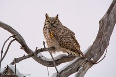"""""""Sleeping Horned Owl"""" by Gloria Allwiin: Found this owl sitting in our tree, so I walked out to see if I could snap a picture. He was sleeping so I was able to walk right under him. After he woke, I got a few pictures and then he flew off."""