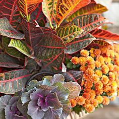 Don't forget to incorporate plants into your fall decorating. Kale and mums are natural go-to plants for fall. Add crotons for a complementary hue.