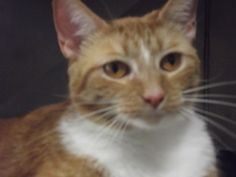 Nevaeh is an adoptable Domestic Short Hair - Orange And White Cat in Shelbyville, IN. Neveah (heaven backwards and named by Vet Tech Institute students) was brought into the shelter just houses down f...