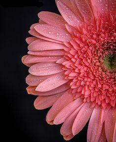 Gerbera Daisy Half   Light Pink Flower   Rosemarie Crisafi   Flickr
