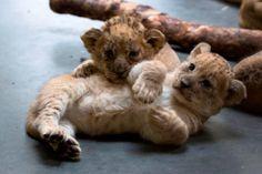 Lion cubs @ Zoo Atlanta