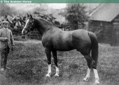 Arabian stallion Mesaoud. Born in Egypt in 1887, imported to Crabbet and later to Russia.