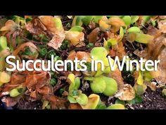 How/When to bring succulents inside for the winter - YouTube