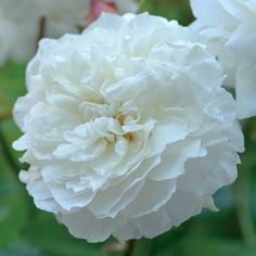 My rose of the week: celebrating Rose Haldane of 'Ignoring Gravity': Susan Williams-Ellis [photo: David Austin Roses] May Flowers, Types Of Flowers, Pretty Flowers, White Flowers, Rose Anglaise, Rooting Roses, William Ellis, Shrub Roses, Rose Perfume