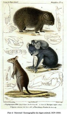 'Mammals' (Iconographie du règne animal, 1829-1844). Distinct Creation Early European Images of Australian Animals