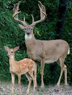 Buck & fawn