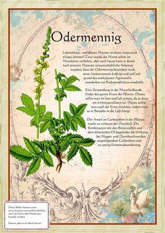 Odermenning www. Herbal Plants, Medicinal Plants, Healing Herbs, Natural Healing, Plant Illustration, Natural Life, Homeopathy, Alternative Medicine, Kraut