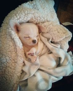 Cute Small Animals, Super Cute Animals, Cute Baby Animals, Chihuahua Puppies, Dogs And Puppies, Chihuahuas, Doggies, Really Cute Puppies, Cute Dogs
