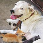 The Dothan Eagle reports Molly, a 2-year-old that recently gave birth to three puppies of her own, began nursing her pal Kitty Kitty's four kittens after the momma cat was accidently killed early last week.