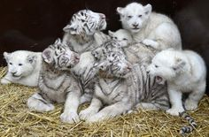 White lion and tiger cubs are pictured after first medical check-up at safari-park in Hodenhagen