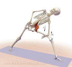 Yazar: Ray Long | Ortopedi Cerrahı ve Yoga Eğitmeni Çeviri: Yogaturk * Bu yazı, Dr. Ray Long'dan izin alınarak Long'un kendi web sitesindeki bir makaleden Türkçeye çevrilmiştir. Psoas&#…