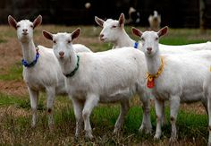 Considered the Holstein of dairy goats because of its superior milk production - an average Saanen doe should produce about a gallon of milk per day over a 10 month lactation. Saanen goats are white to light cream in color and are very adaptable, doing well in almost any environment.