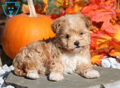 Jazzy | Maltipoo Puppy For Sale | Keystone Puppies