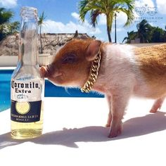 """From @mr_bacon_the_pigstar: """"Staying fresh at the beach!!"""" #cutepetclub by: @cutepetclub"""