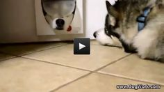 Siberian Huskies Playing Through a Cat Door