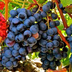 Essa é uma uva relativamente nova. Surgiu somente no final do século 19, pelo cruzamento entre Petit Bouschet e Grenache.