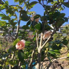 [Miyazaki 2015] 동백꽃이 유난히 많던 미야자키. 이 동네의 울타리목은 대부분 동백이었다. 우리는 귀한 나무인 동백을 울타리 나무로 키우다니. ㅋ 흰색 동백은 신기해서 찰칵.