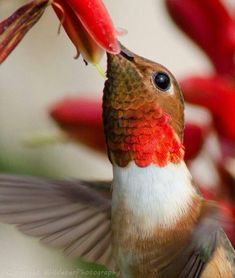 sirloin: The Hummingbird, specially conditioned by nature to survive by extracting the nectar from flowers. (also smallest and fastest species of bird; national bird of Cuba) courtesy of BWeberPhotography