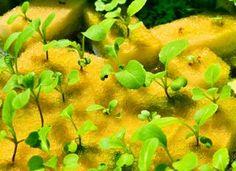Você pode começar um jardim em um pequeno espaço! Dê seu jardim um bom começo por sementes germinadas com uma esponja húmida. Coloque as sementes em cima de uma esponja completamente saturada e de local em uma tigela de vidro em um local ensolarado. Quando as mudas brotam, transferi-los para vasos. | 10 coisas que você não sabia que um Esponja pode fazer.
