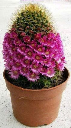 Mammillaria backebergiana. Native to Mexico. (Cactus)