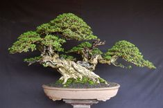 American Bonsai at the NC Arboretum - Page 38