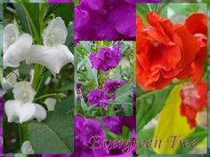 Impatiens Balsam (300 SEEDS) Mix of rose, white, scarlet and violet.Balsamina