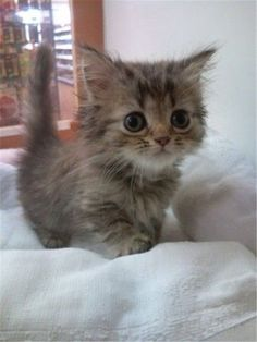 11 Cute Cats for Your Saturday - Love Cute Cats lovecuteanimals.c… Love Cute Cats lovecuteanimals.c… Love Cute Cats lovecuteanim - Kittens And Puppies, Cute Cats And Kittens, Kittens Cutest, Kittens Meowing, Fluffy Kittens, Ragdoll Kittens, Tabby Cats, Bengal Cats, Bulldog Puppies