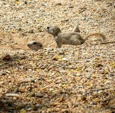 A #tbt to when I spent a couple hours watching the live action round-tailed ground squirrel version of Meerkat Manor.
