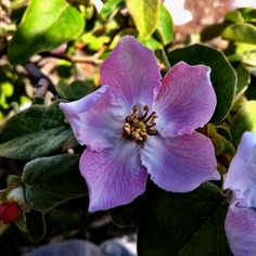Flor del #membrillo de #Abla #Almeria #Alpujarra #SierraNevada #spanish #quince #flower