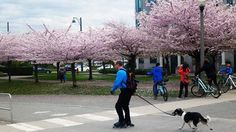 Check out this fun #Vancouver Bike Ride Guide! Cycling from Convention Centre to Granville Island via the Seaside Bike Route and the Aquabus Ferry. If you cycle along the Seaside Bike Route in spring, you will see spectacular cherry blossoms