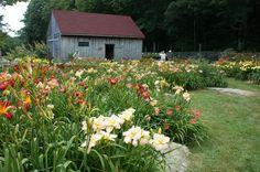 https://flic.kr/p/adjWkp | Hemerocallis (Daylily garden) (3)