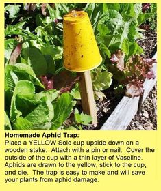 Good tips to combat tomato issues. Homemade yellow sticky traps catch aphids that eat your tomato plants Garden Pests, Herb Garden, Lawn And Garden, Big Garden, Garden Sheds, Terrace Garden, Garden Planters, Organic Gardening, Gardening Tips