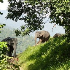 At one time there were millions of elephants in Asia. Here in Thailand the number is sadly down to a few thousand.  #thailand #thai #thaiinstagram #elephant #thailandinsider #elephantlove #savetheelephants #elephantnaturepark #herd #jungle #asian #seasia #rescue #travel #worldcaptures #journey #trip