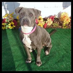 Pictures of FELICIA a Pit Bull Terrier for adoption in Marietta, GA who needs a loving home.