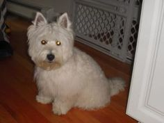 FOSTERS NEEDED !!! is an adoptable West Highland White Terrier Westie Dog in Boston, MA. Westie Rescue of new England Inc is in need of foster homes through out new England and also in NJ. Some of our...