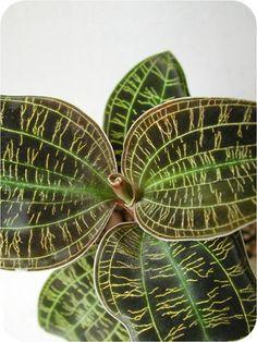 Macodes petola -- jewel orchid