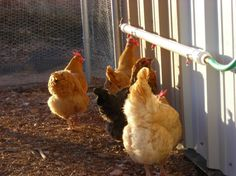 Chicken Feeders And Waterers   Chickens drinking out of a homemade chicken waterer (pvc pipe)