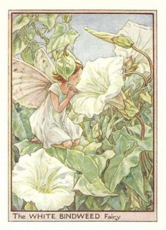 White Bindweed Fairy. Flower Fairies of the Wayside by Cicely Mary Barker, 1948.