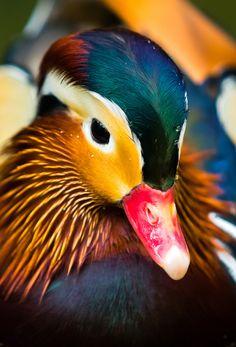 The Mandarin Duck (Aix galericulata)