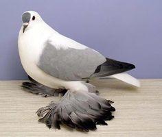 JACOBIN PIGEON PICS - Google Search