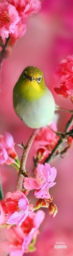 Bird in Cherry Blossom Pretty Birds, Beautiful Birds, Rare Birds, White Eyes, Backyard Birds, Mundo Animal, Colorful Birds, Animal Party, Bird Watching