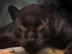 I got: Jaguar - Smart & Adaptive! What Is Your Spirit Big Cat?